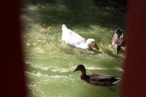 The presence of live ducks support Judge's findings that Lake Hollifield is not toxic. Photo by: Hannah Haggerty